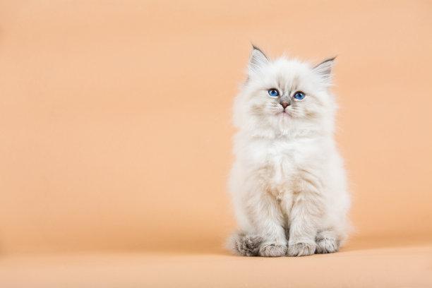金吉拉小猫注视镜头