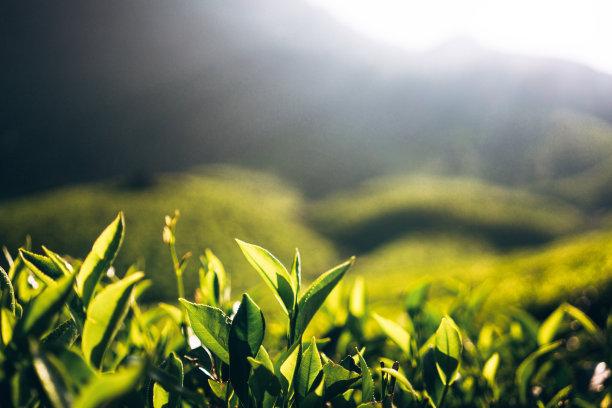 印度的茶树