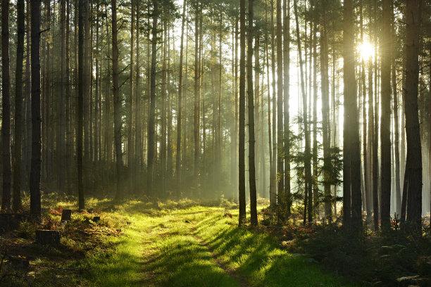 松树森林阳光光束