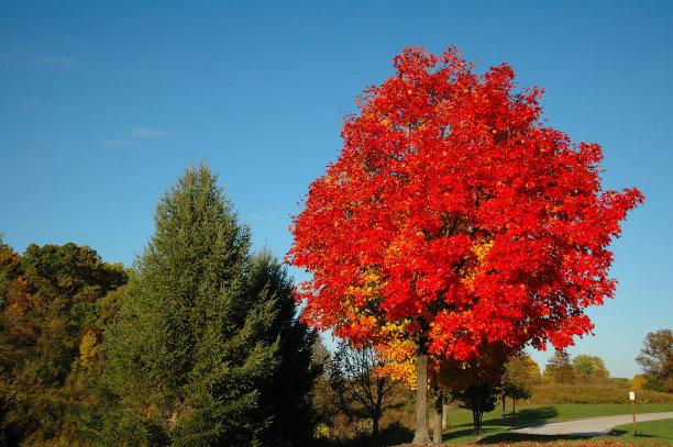 秋天叶子红花槭