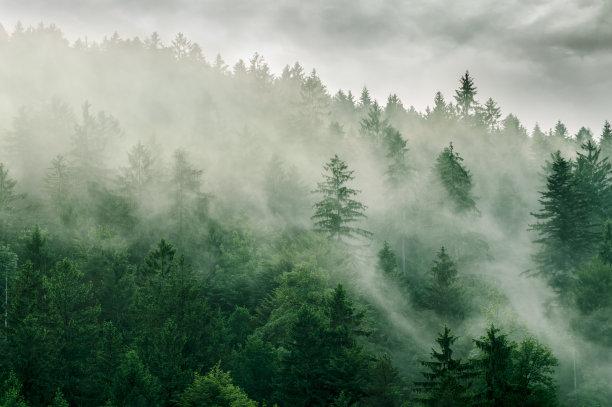 雾森林松树