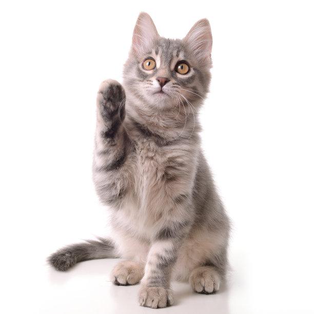 举手的小猫咪