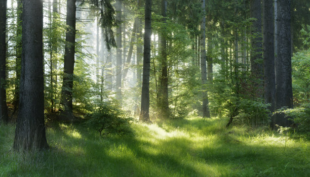 云杉森林日光