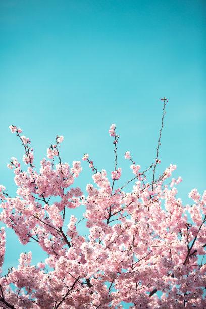 樱桃树樱花日本