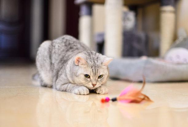 玩羽毛玩具的小猫