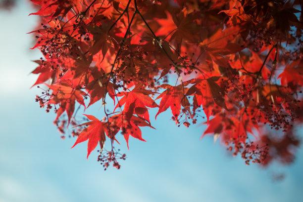 枫叶秋天红色
