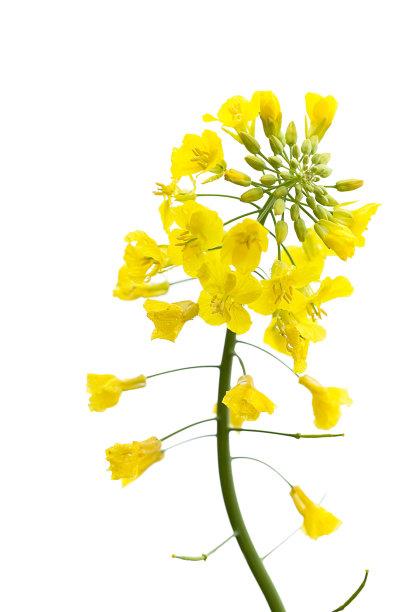 芸苔白色油菜花