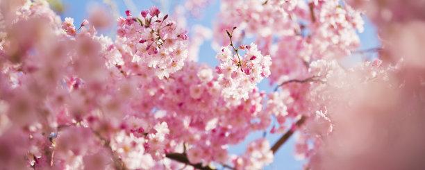早晨的樱花