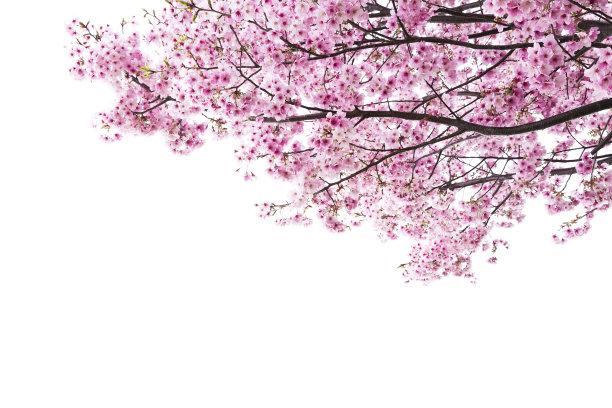 粉色樱桃树