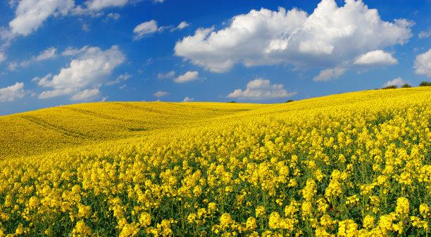 田地油菜花风景