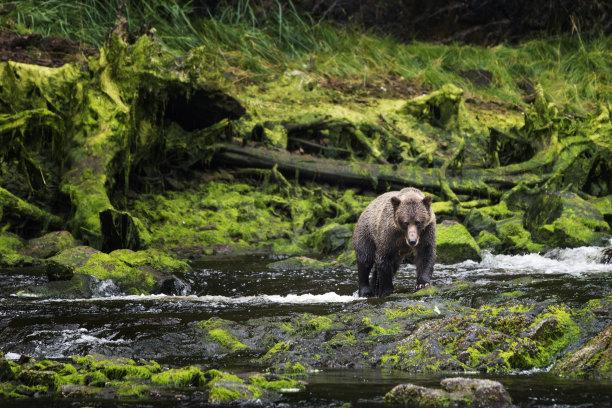 棕熊靠近图片