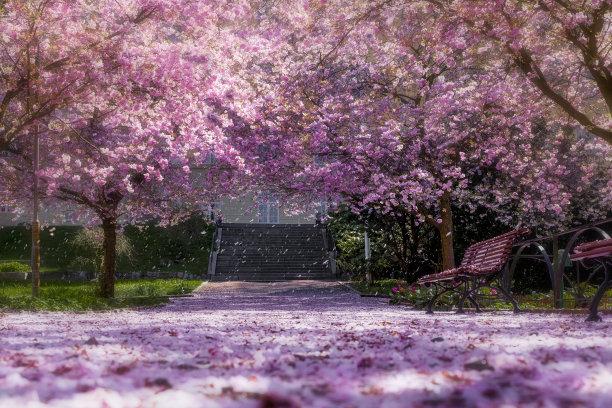 公园樱桃树