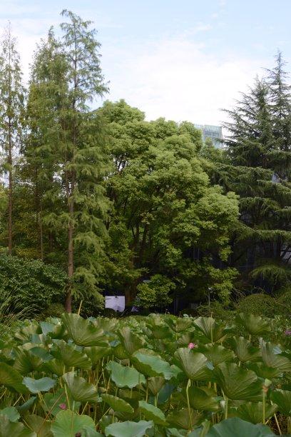 公园上海欧洲赤松