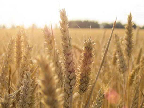 小麦田地图片