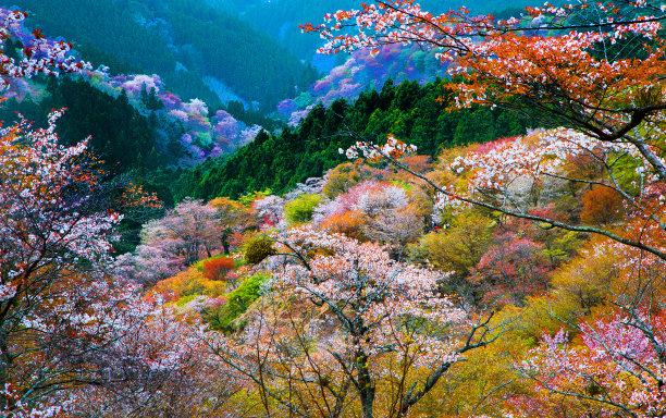 日本吉野樱花花海