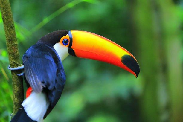 秘鲁亚马孙巨嘴鸟