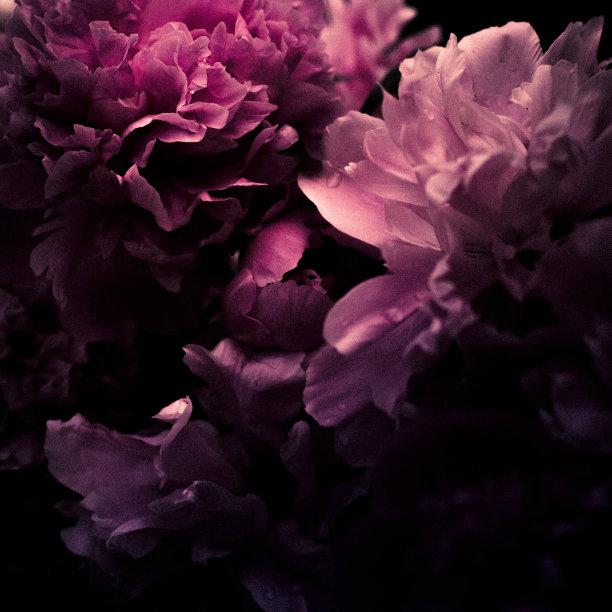粉色牡丹花