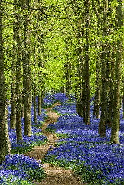 小路野风信子森林