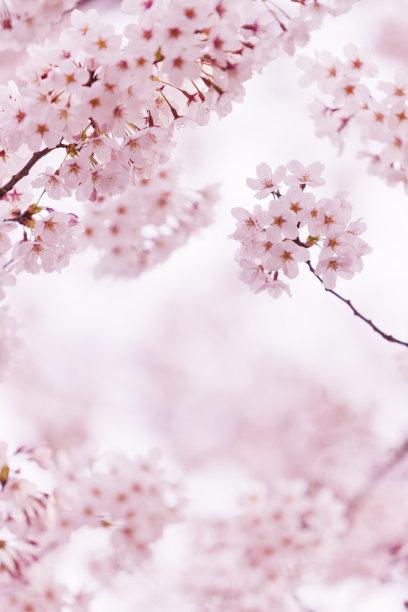 自然美樱桃树樱花