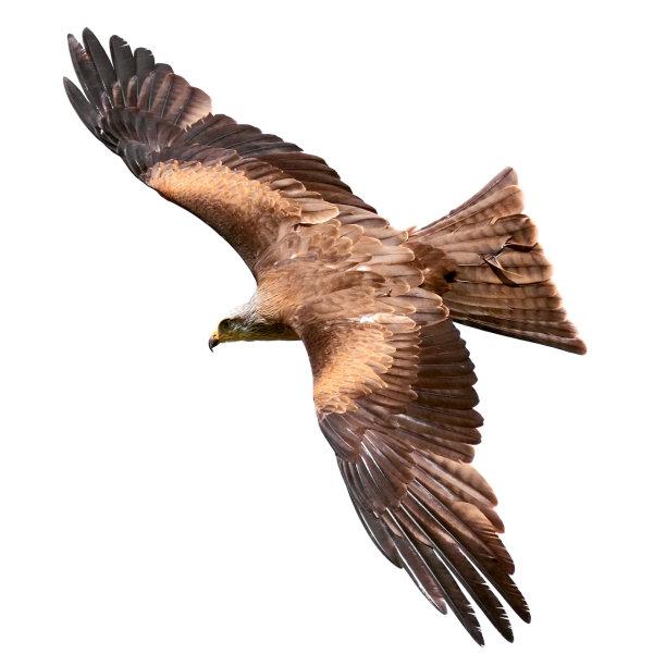 白色背景猎鹰