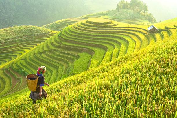 s形状的稻田