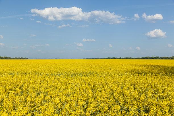油菜花田地黄色