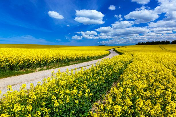 油菜花地形黄色