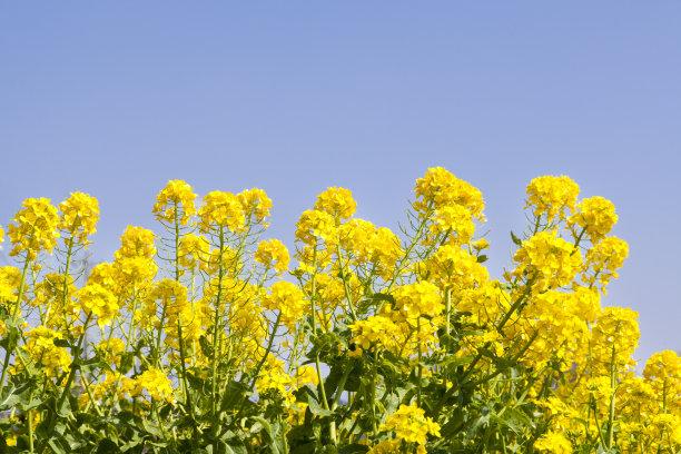 油菜花黄色背景水平画幅