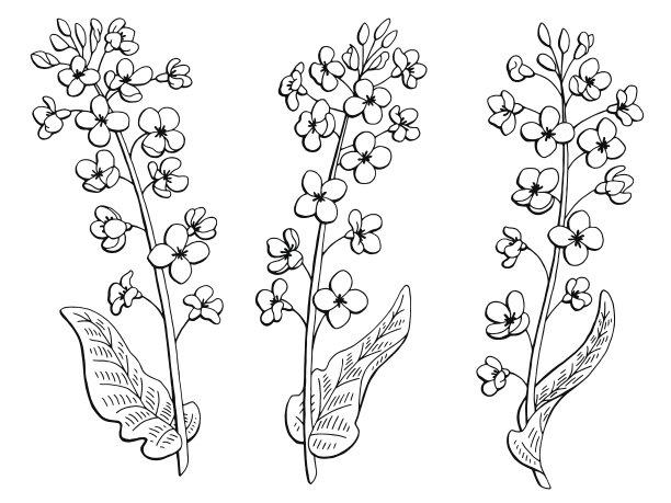 油菜花草图绘画插图