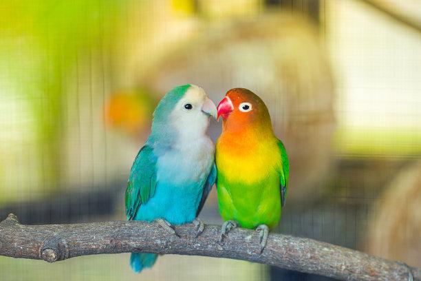 爱情鸟红牡丹鹦鹉动物家庭
