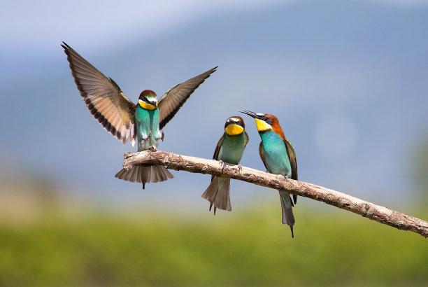 鸟类食蜂鸟
