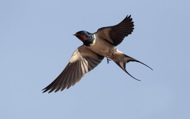 燕子家燕鸟类