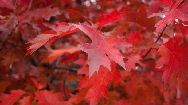 叶子秋天红花槭