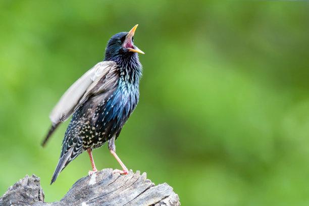 站立树桩的椋鸟