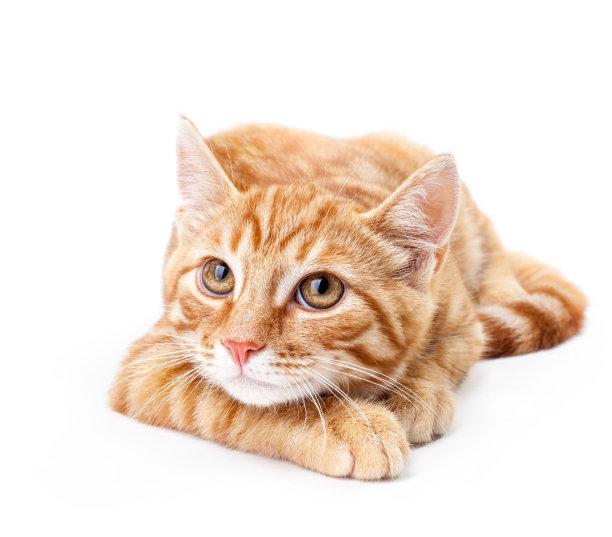 趴着的橘猫