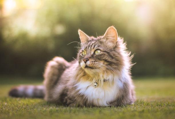 草地上趴着的猫