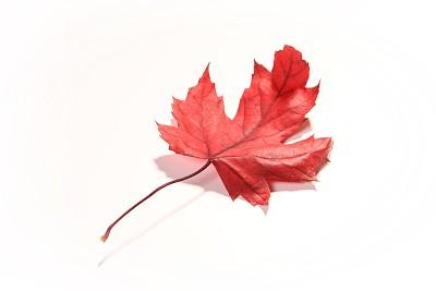 翘起的红花槭枫叶