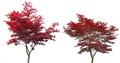 红花槭鸡爪枫挪威枫