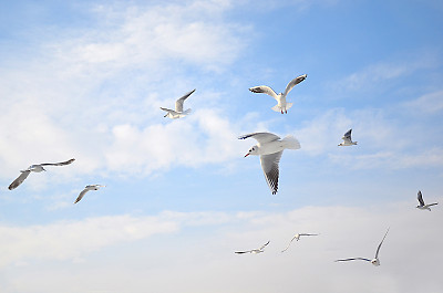 鸟类空中的海鸥