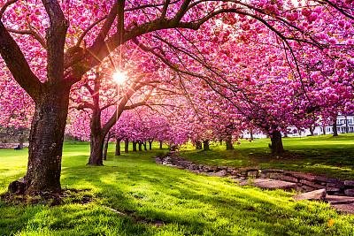盛开的樱桃树