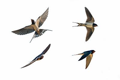 燕子飞行姿态