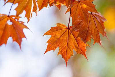 叶子枫树欧洲赤松