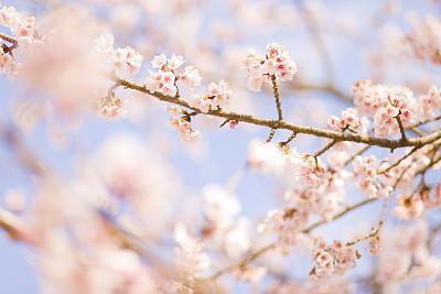 看樱花近景