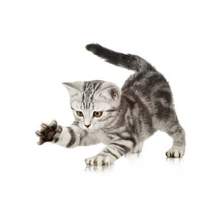 调皮的美短猫咪