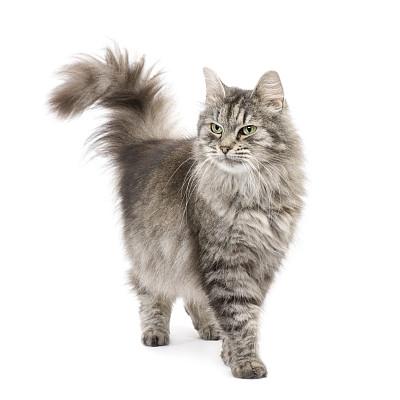霸气缅因猫咪