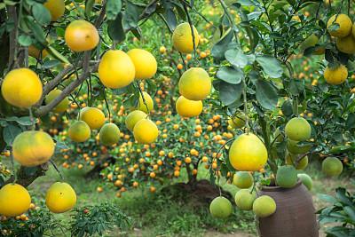 柚子果树熟的