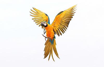 鹦鹉张开翅膀金刚鹦鹉