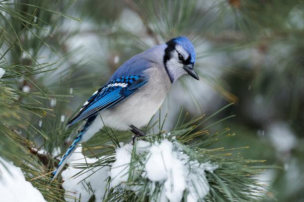 冬日雪天的蓝鸦
