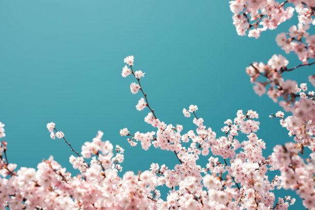柔和的樱桃树背景