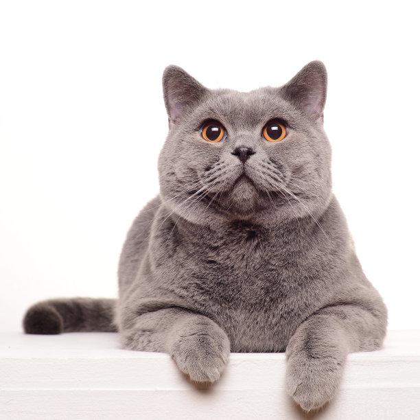 肥嘟嘟的蓝猫